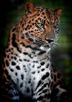 Panthera Pardus Orientalis by DuvallGear