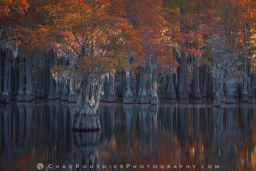 Cypress Autumn
