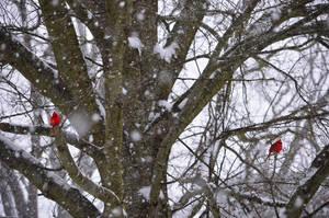 Snowy Cardinal Pair