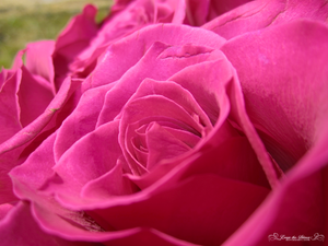 Roses are Pink 2