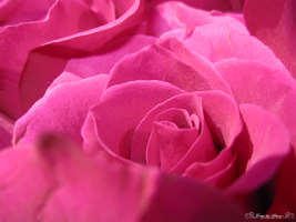 Roses are Pink 3 by Erase-the-Silence