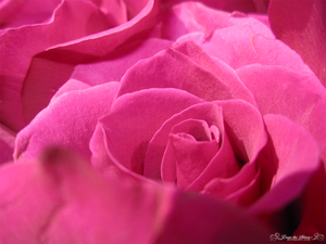 Roses are Pink 3
