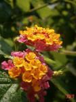 Two  Rainbow Latana Flowers