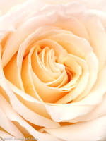 Perfect Rose by Lighti85