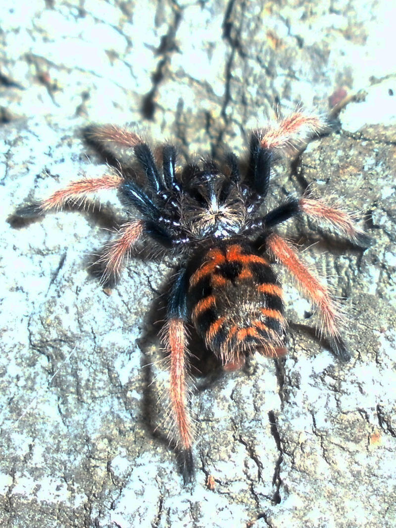 Chromatopelma cyaneopubescens spiderling by PersistentAura ...