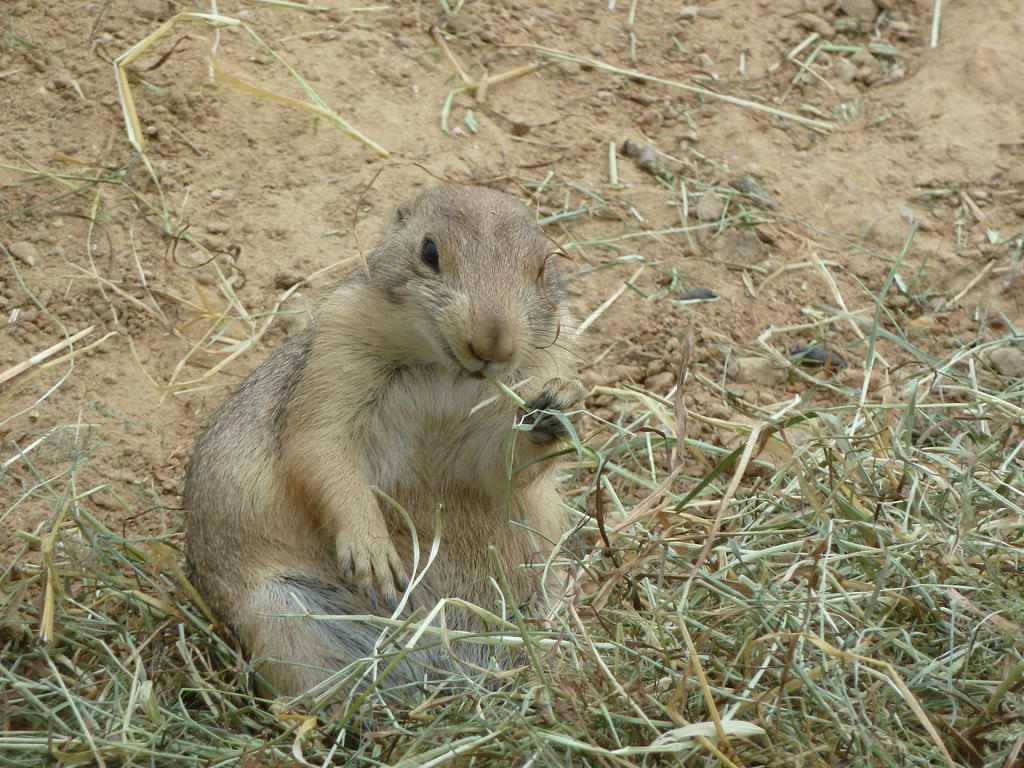 Prairie dog eating lunch by remmy77