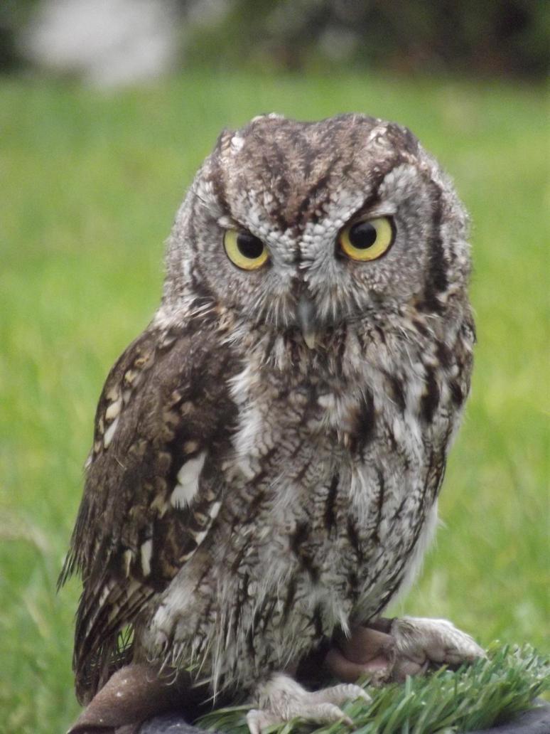 Western screech owl by RakuenVI on deviantART