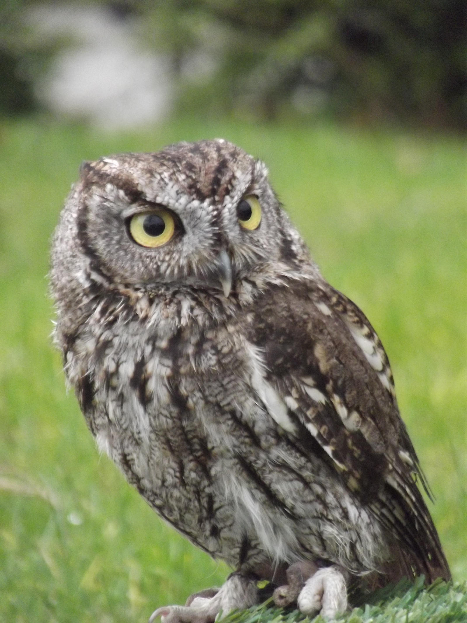 Image Gallery westernscreechowl