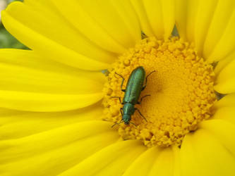 Flower Beetle by RakuenVI