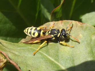 Solitary Wasp by RakuenVI