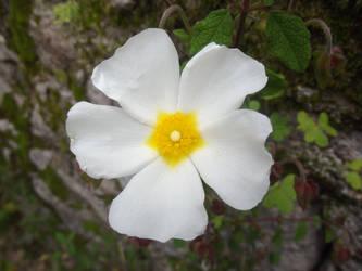 White Flower, unknown sp. by RakuenVI