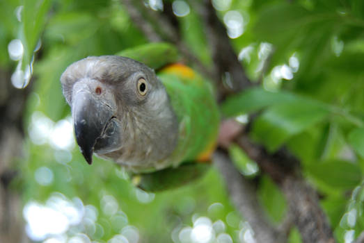 Senegal Parrot in a Tree