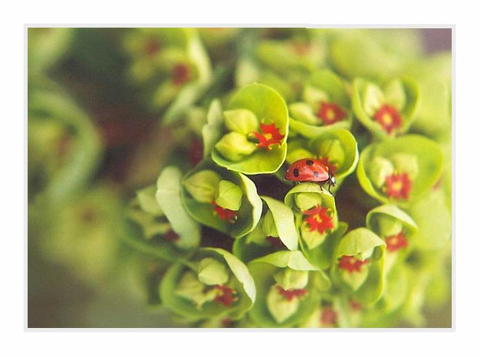 Ladybug and Euphorbia by lovingenglish - u�ur b�cekli avatarlar