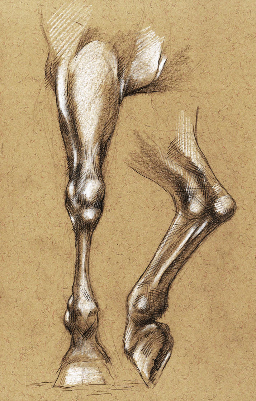 Horses legs anatomy