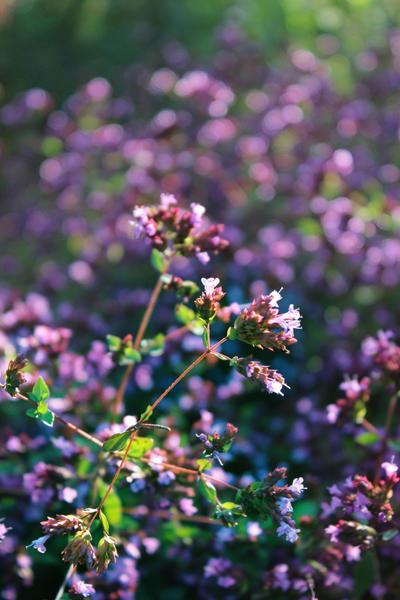 Lilac by Igotdonuts