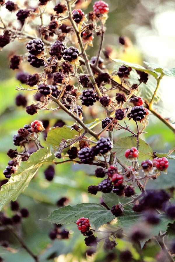 Blackberry by Igotdonuts