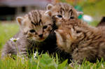 kitten company
