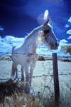 My Lovely Horse Infrared by GaryTaffinder