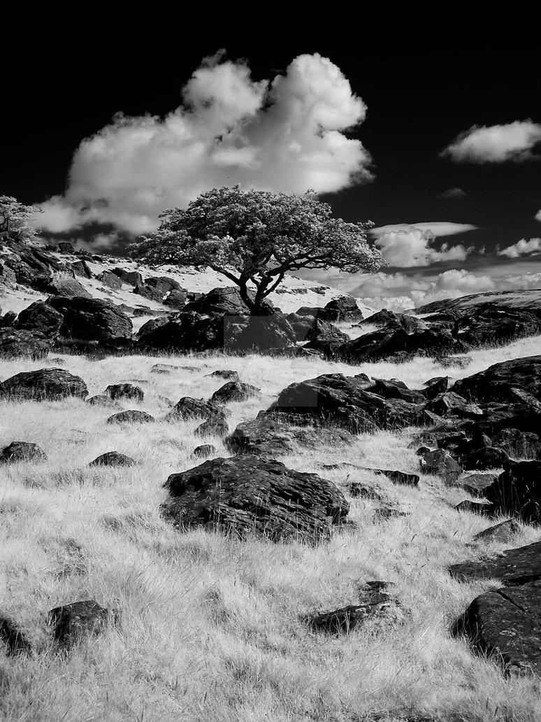 Tree at Norber Erratics. Infrared by GaryTaffinder