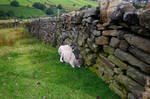 Sheltering Shaun the sheep, near Haworth.
