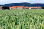 Crops in a field at Scarborough. North Yorkshire -