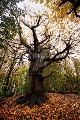 Autumn Tree at Harewood Castle - Leeds - UK.