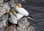 Nesting Gannets at Bempton Cliffs - UK