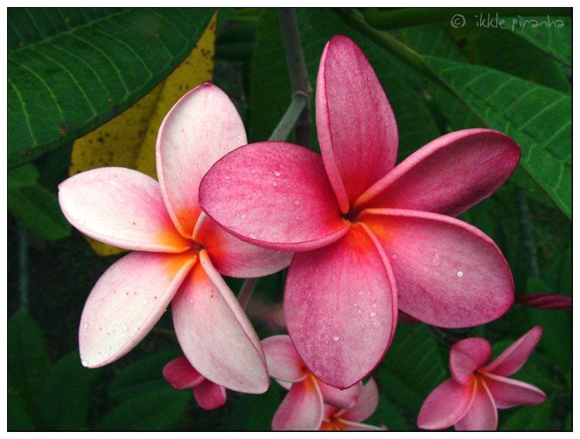 Frangipani Flower by IkklePiranha