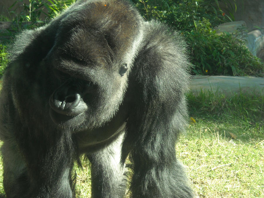 Gorilla At Santa Barbara Zoo by Zu-zu1