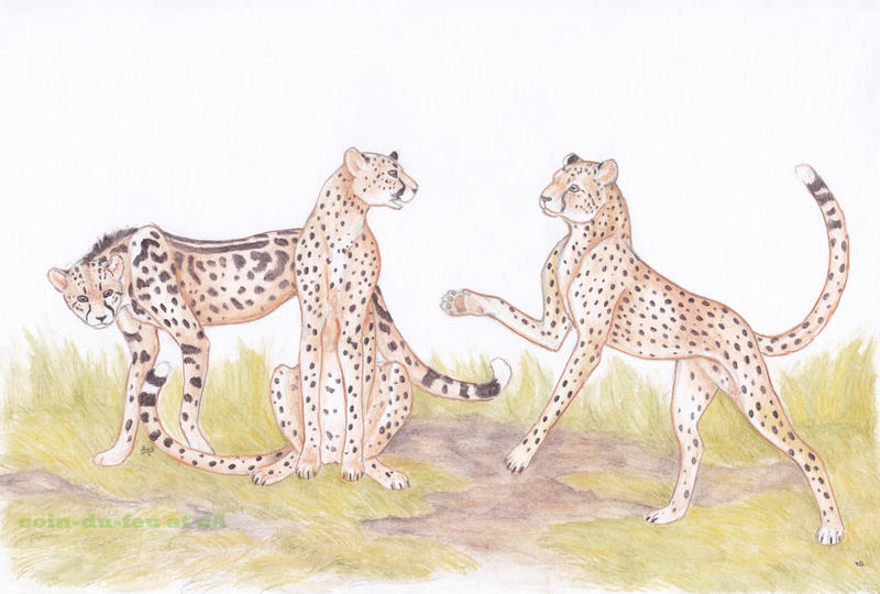 There were once three cheetahs by Coin-du-Feu