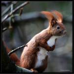 Eurasian Red Squirrel III by Haufschild
