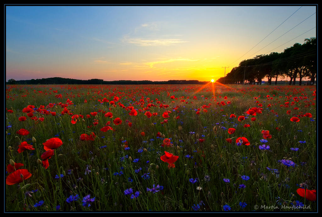 Cornflowers and Poppy by Haufschild