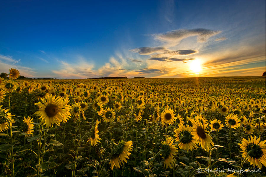 Sunflowers by Haufschild