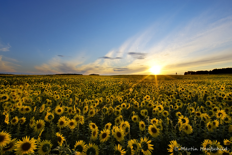 Sunflowers III by Haufschild