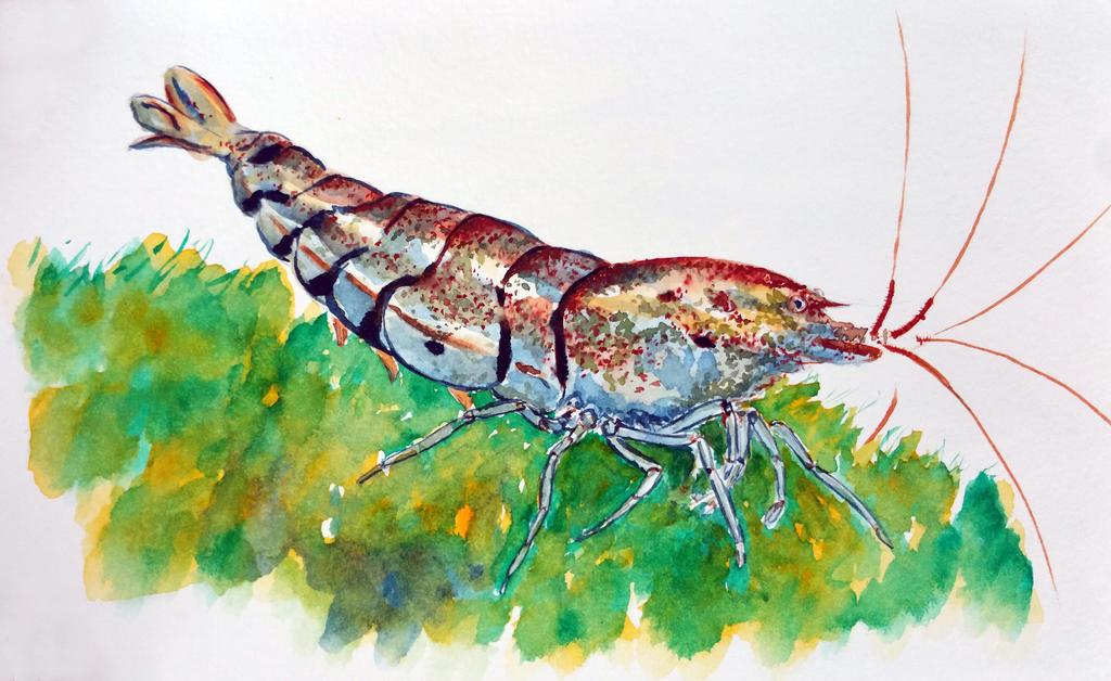 Caridina shrimp by ColeBarrett