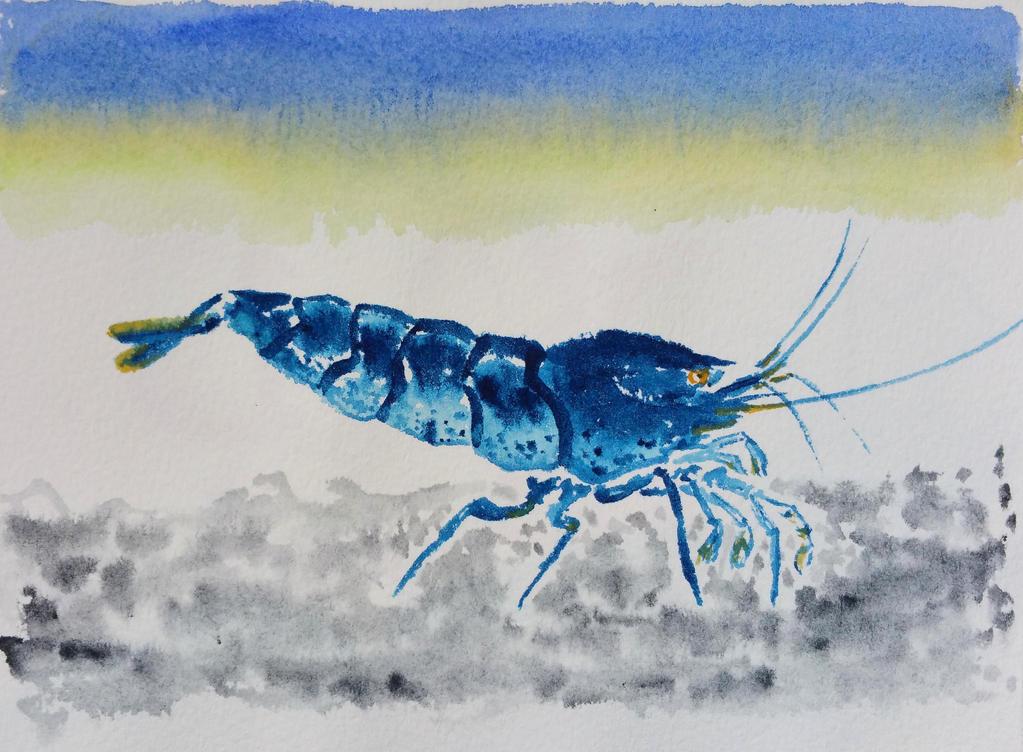 Orange eye blue tiger shrimp by ColeBarrett