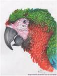 Harlequin Macaw by DragonRider02