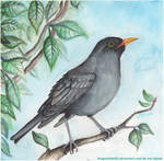 Common Blackbird by DragonRider02