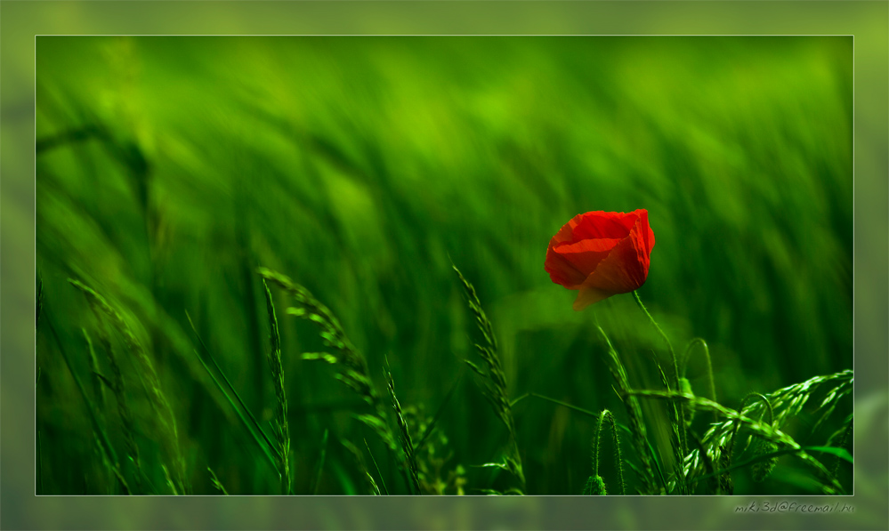 Red Poppy by miki3d