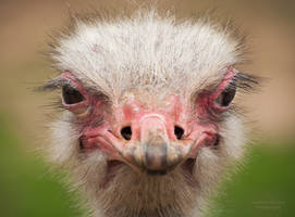 Ostrich by AEisnor