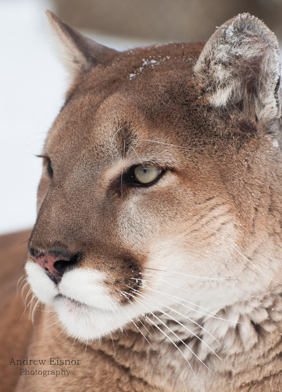 cougar sur nice