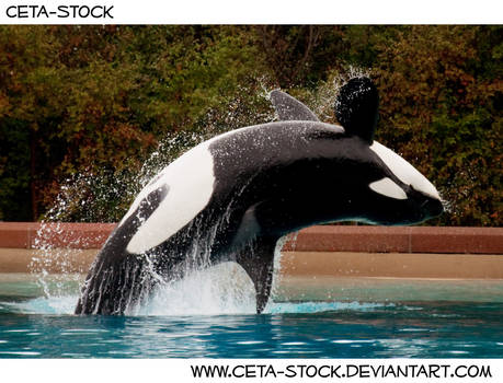 Orca Jump 3 by Ceta-Stock