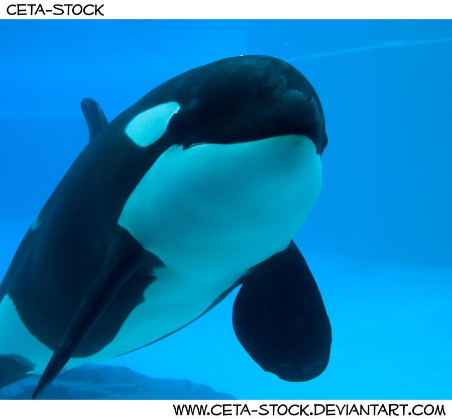 submerged killer whale - photo #8