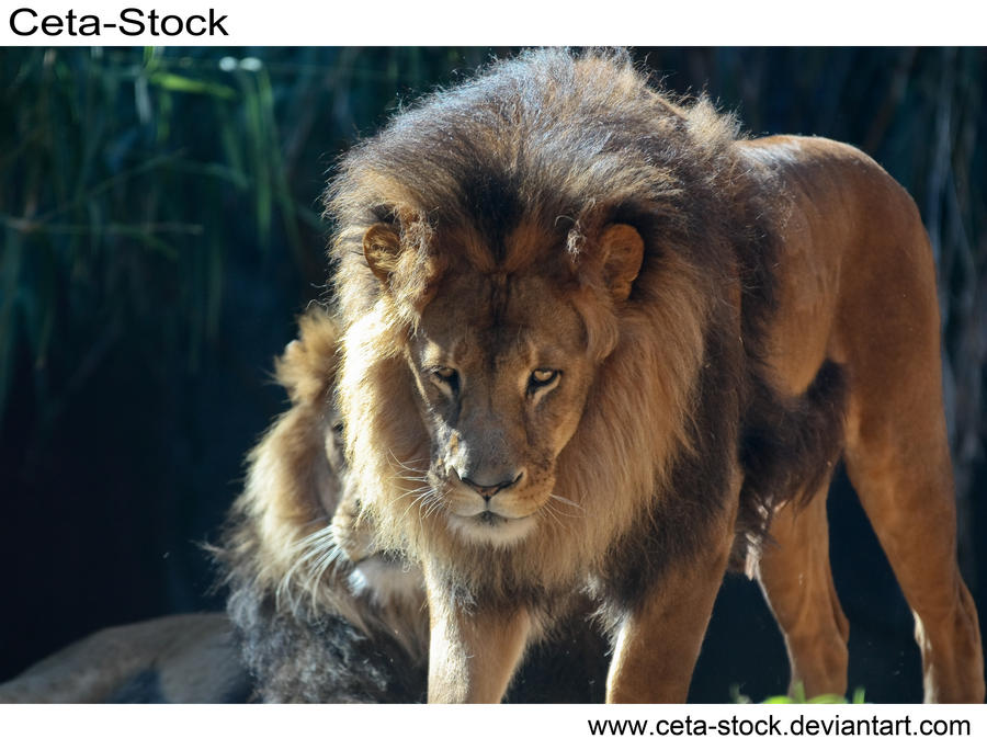 Lion 5 by Ceta-Stock