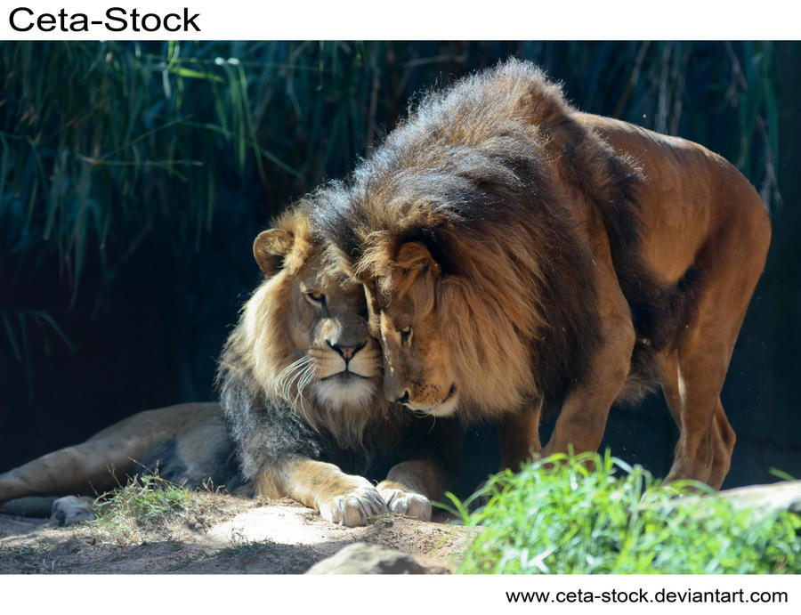 Lion 8 by Ceta-Stock