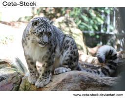 Snow Leopard 2 by Ceta-Stock