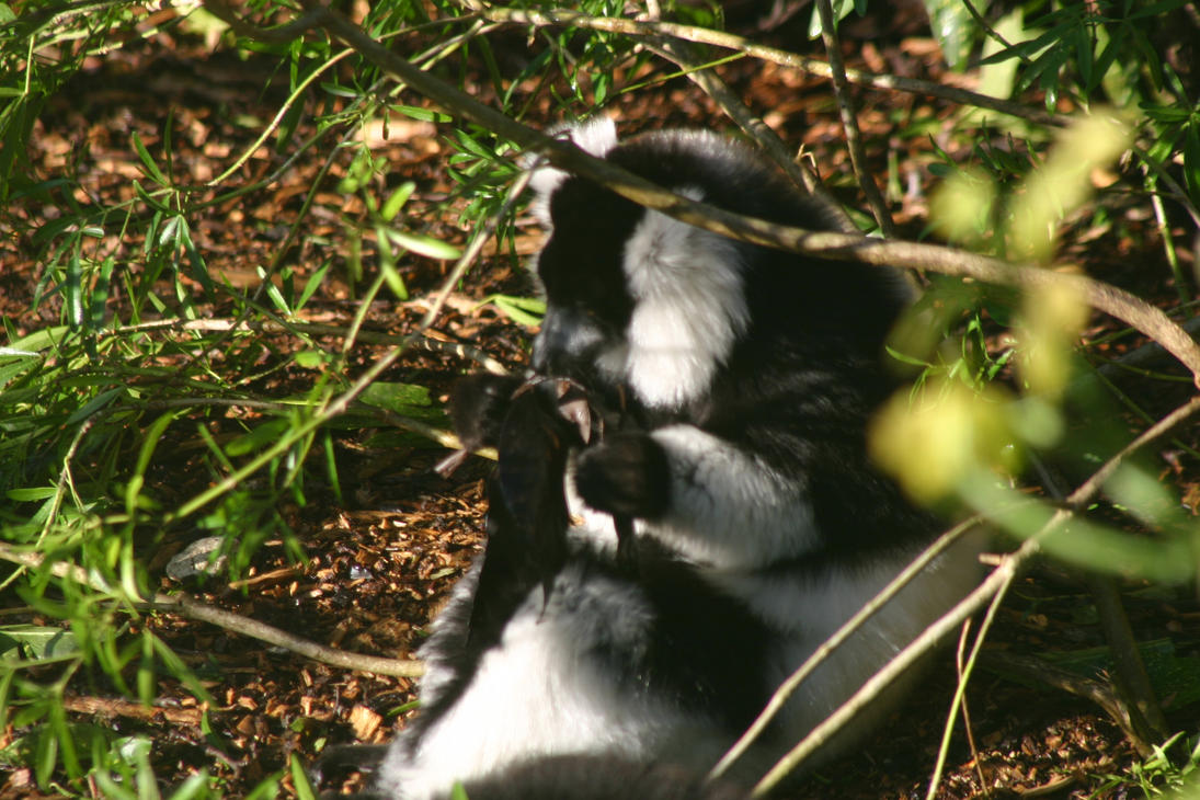black and white ruffed lemur by BlueW01f