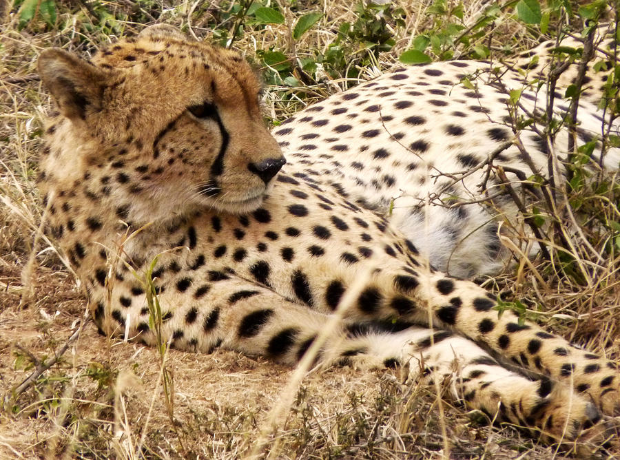 cheetah by eocjtlels