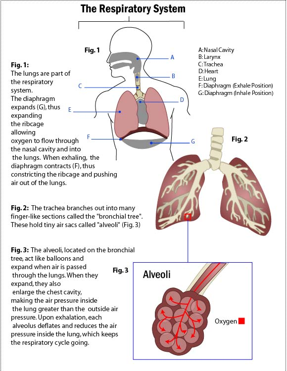 Your lungs and you