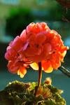 Geranium dawn